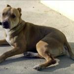 Sujeto mata a su perra Pit Bull, la cocina y se la come