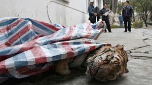millonario_chino_electrocutaba_tigres