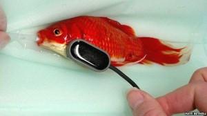 Hombre pagó $460 dólares para operar de estreñimiento a su pez dorado